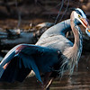 Great Blue Heron and Gizzard Shad