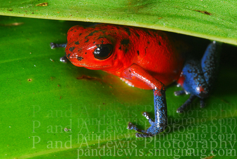 Strawberry poison dart [or blue jeans] frog at La Selva research station, Costa Rica.  January 2009.