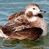 Longtailed Duck Female