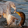 Juvenile Cormorant fights for his catch with Juvenile Ring Billed Gull