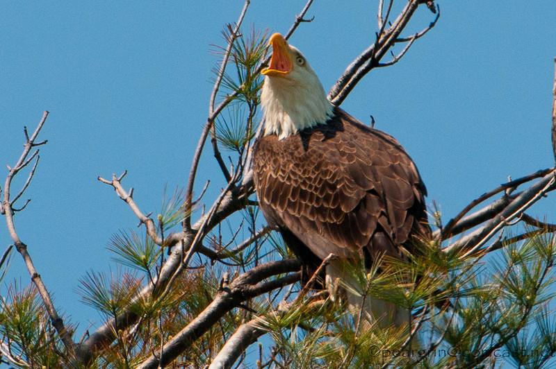 Bald Eagle Calling Mate