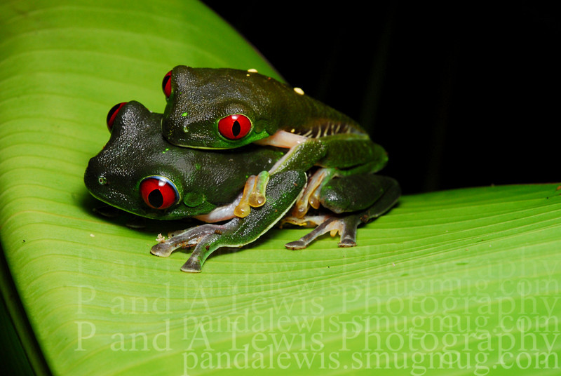 Red-eyed tree frogs in amplexus near Corcovado National Park, Costa Rica.  January 2009.
