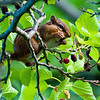 Chipmunk and Mulberries