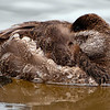 Resting Female Ruddy Duck