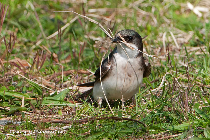 Female Tree Swallow gathering nesting material