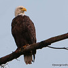 Bald Eagle (wet)