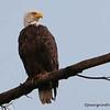 Bald Eagle (wet)