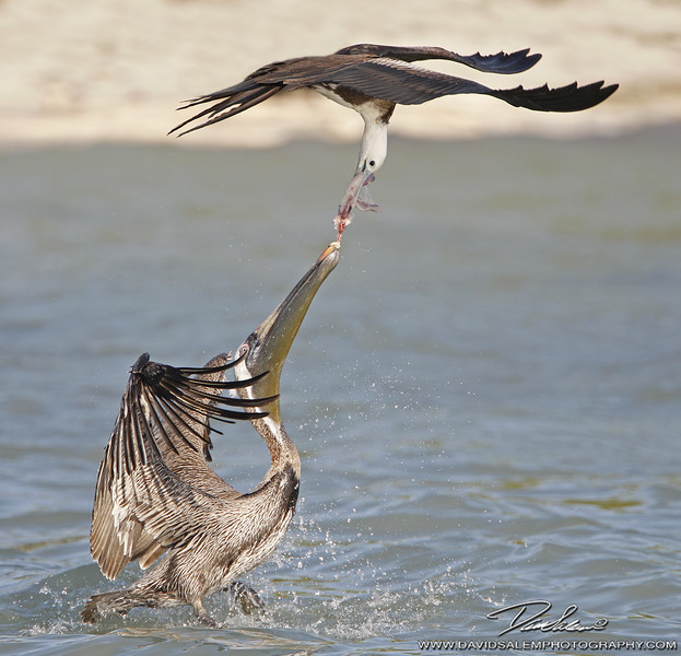 Frigate Bird vs Brown Pelican