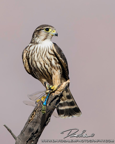 Merlin with Dragonfly