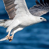 White- bellied Sea Eagle