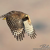 Red-sholdered Hawk