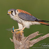 Male American Kestrel with Dragonfly