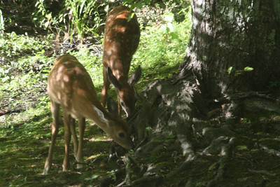 Fawns and doe - Sept. 6, 2013