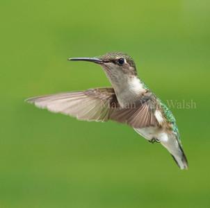 Ruby-Throated Hummingbird (female or juvenile)