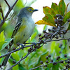 Male White-eyed Vireo