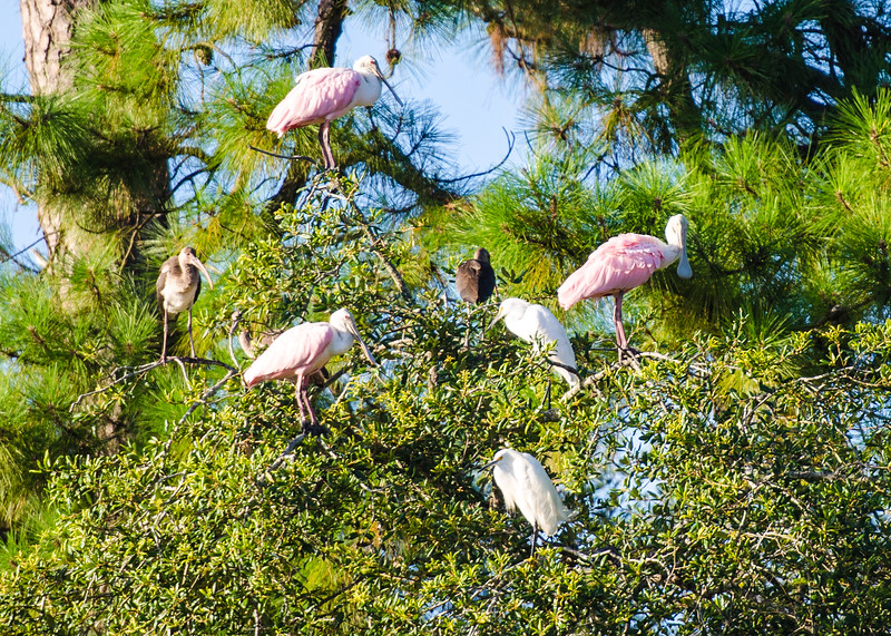 Roseate Spoonbills, Scarlet Ibises, and Snowy Egrets
