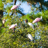 Roseate Spoonbills, Scarlet Ibises, and Snowy Egrets