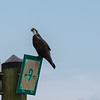 Osprey on a channel marker