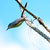 A Blue-Grey Gnatcatcher just as he lept off the branch to fly away