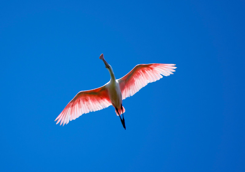 Roseated Spoonbill in flight