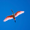 Roseated Spoonbill in flight