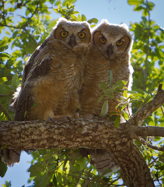 """Wild Owl Chicks at Fort Matanzas National Park, close to St Augustine, Florida - Although recently born, they are already about 18"""" tall !"""