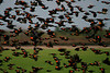 Red-Winged Blackbirds in flight at Pungo  (Won 3rd place in Bird Category of 2008 Wildlife in NC photo competition) Look for it in the Jan, 2009 issue
