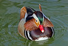 Mandarin Duck in Full Plumage