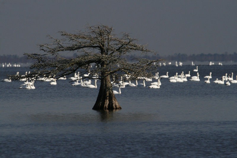 Swans on Lake Mattamuskeet
