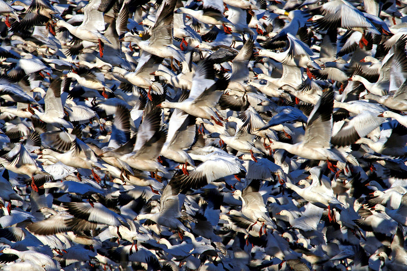 Snow Geese Blast-Off over Pungo Fields