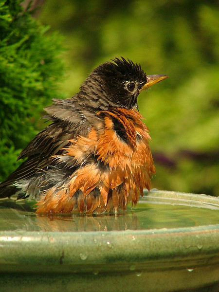 Bathing Robin - 2007 Birds and Blooms magazine