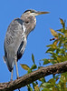 Great Blue Heron at Falls Lake