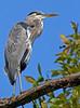 Great Blue Heron at Falls Lake