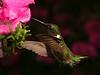 Handsome Hummer : Ruby-throated hummingbird