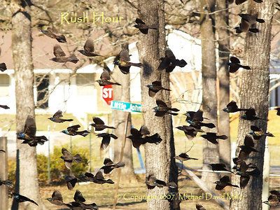 Rush Hour (Common Grackles), Oly E500, ZD40-150mm