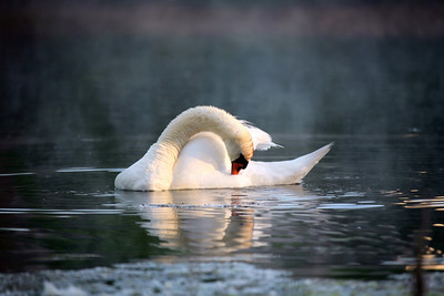"""""""Morning Swan"""" doing some grooming just as the sun light was coming out, to burn off the morning foggy mist that early summer morning"""