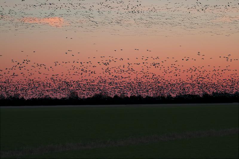 Flocks of Snow Geese at Pungo Sunrise