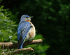 Bluebird Contentment