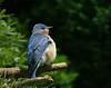 Bluebird Contentment