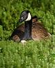 Canada Goose in Audubon Swamp