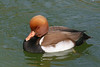 Red-Crested Pochard - Thanks to Robert Smith for identifying the Mystery Duck!