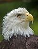 Eagle Majesty