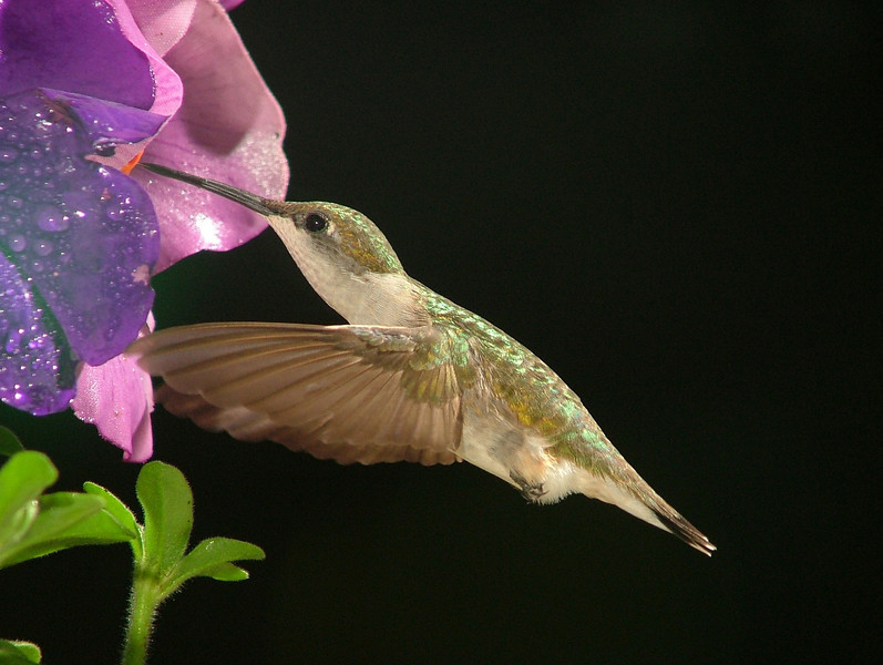 Ruby-Throated Hummer at Work