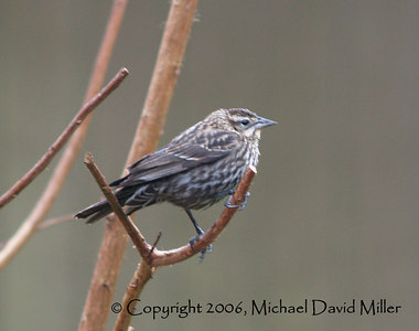 Female Red-Tipped Blackbird, Oly E500, ZD40-150mm