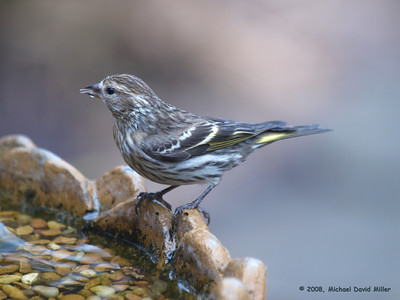 """Pine Siskin, one of the """"winter finches.""""  Oly E510, ZD50-200 & EC14 Teleconverter."""