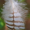 Feather- Sherburne NWR