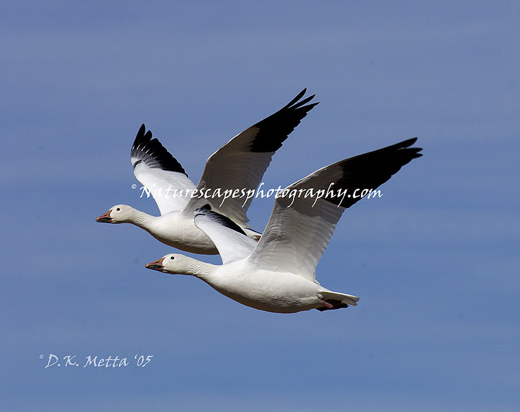 Snow Geese in migration