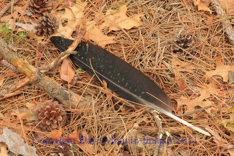 Crow Feather- Jack Pine Stand, E. Refuge Rd.
