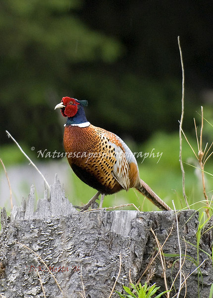 Ring-Necked Pheasant - Homer, Alaska.  These are not native to Alaska,  Nonetheless, a gorgeous example!