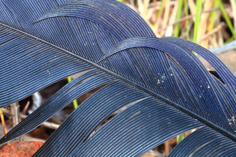 Bird Feather- Mallard Lake